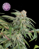Kera Premium Diesel Female 5 Marijuana Seeds